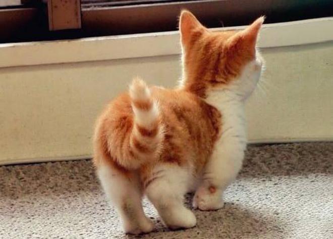 Les chats de la race Munchkin sont les plus mignons du monde