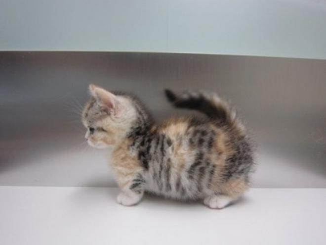 Les chats de la race munchkin sont les plus mignons du monde - Chat munchkin prix ...