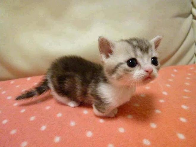 les chats de la race munchkin sont les plus mignons du monde. Black Bedroom Furniture Sets. Home Design Ideas