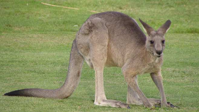 kangourou-rebond-compressed