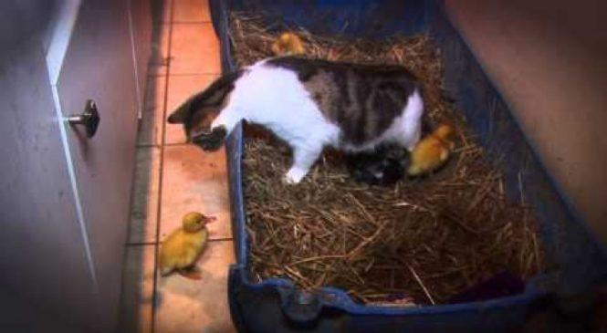 Ces Petits Canards Pouvaient être En Danger Mais Regardez Ce Qui Se Passe Plutôt :-)