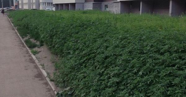 Les Employés Municipaux se Trompent et Plantent du Cannabis au lieu de la Pelouse