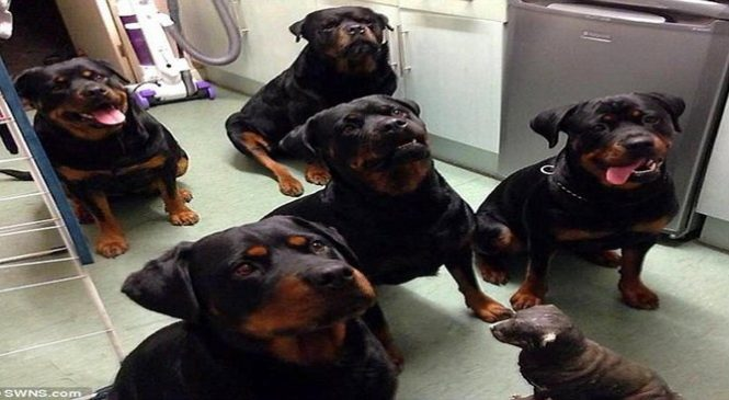 Une vieille dame de 80 ans a été secourue par 4 rottweilers. Incroyable !