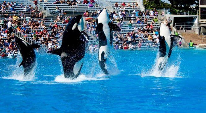 L'État californien vient d'interdire l'élevage d'orques en captivité, une belle avancée pour la cause animale.