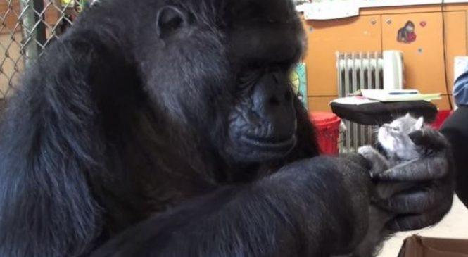 Koko le gorille a eu le plus adorable des cadeaux pour son anniversaire