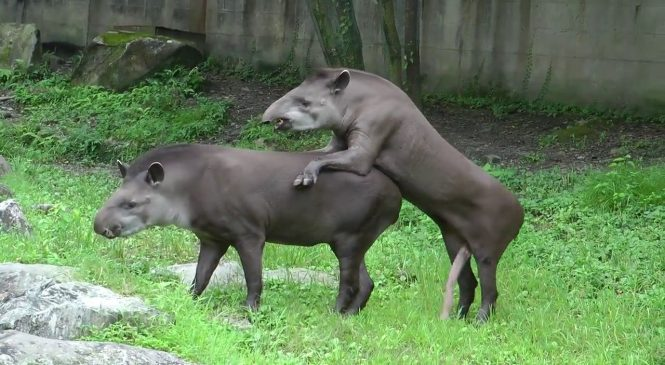 Un tapir bien membré essaye de s'accoupler