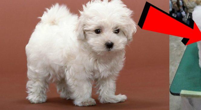 Une affreuse mode fait fureur au Japon. Les pauvres chiens, c'est horrible!