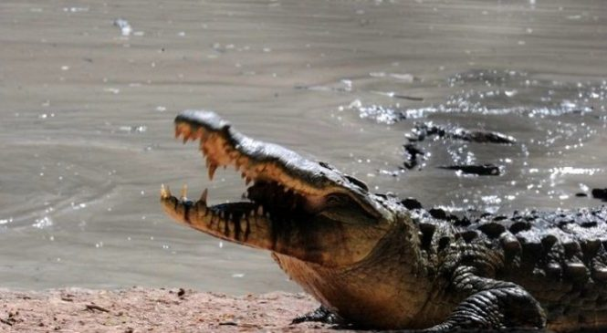 Pour éviter la corruption, les crocodiles sont choisis pour garder les détenus trafiquants de drogue
