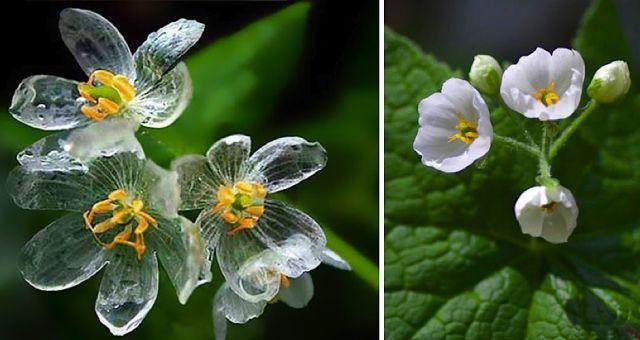 Cette magnifique fleur devient INCROYABLE quand il pleut