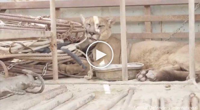 Un puma de cirque enchaîné pendant 20 ans découvre la nature pour la première fois