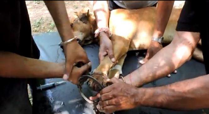 Victime d'un piège illégal, sa patte ne peut être sauvée mais son courage demeure intact