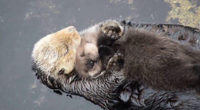 Une maman loutre fait un câlin à son petit