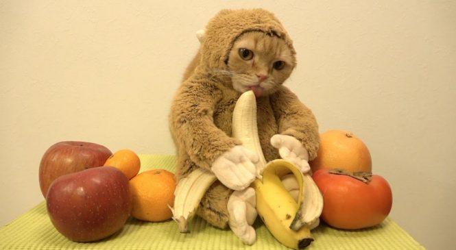 Un chat trop mignon déguisé en singe déguste une banane