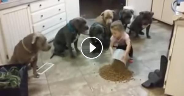 Une Fillette de 4 ans mène au Doigt et à l'œil 6 Pitbulls Affamés