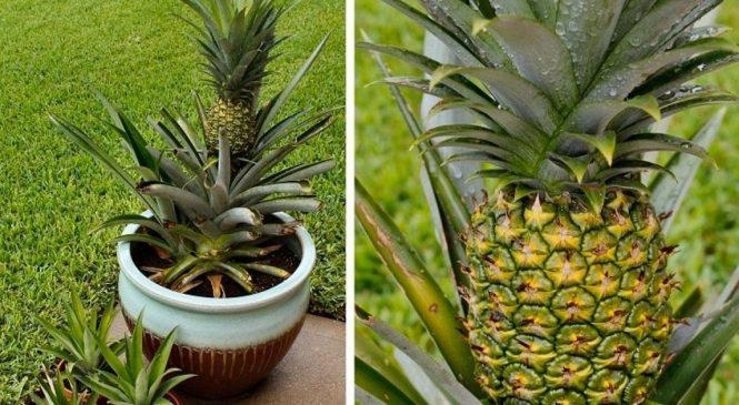 Des étapes faciles pour faire pousser votre ananas à la maison! À essayer!