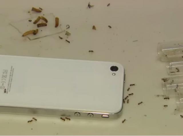l 39 effet des ondes du t l phone portable sur les fourmis va. Black Bedroom Furniture Sets. Home Design Ideas
