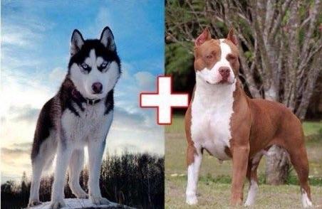 10 croisements qui donnent naissance à des chiens hors du commun…