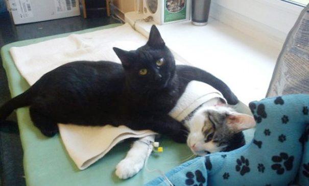 Un chat infirmier prend soin des autres animaux dans une clinique