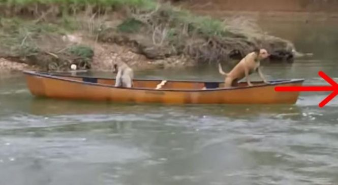Deux chiens sont prisonniers d'un canoë, mais attendez de voir quel animal va venir à leur rescousse!