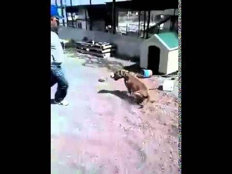 Il s'amuse à énerver un pitbull. Il n'aurait jamais dû faire ça !