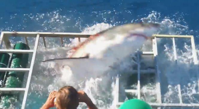 Immense Frayeur : Un énorme requin blanc réussit à rejoindre un plongeur dans sa cage !