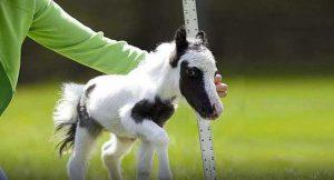 Un mini cheval de poche ;)