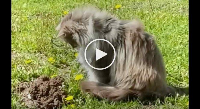 Un chat aperçoit une taupe qui sort du sol, et sa réaction est hilarante !