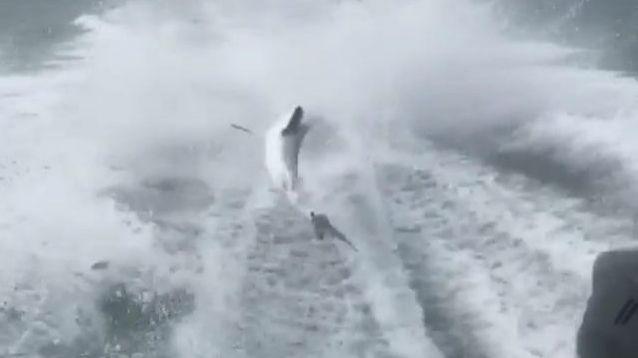 Des humains font vivre l'horreur à un requin. Attaché à une corde et traîné sur des kilomètres !
