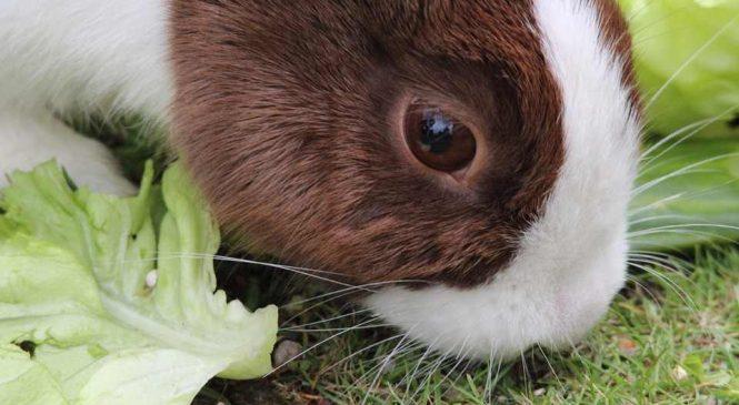 Guide : Nous avons adopté un lapin nain. Voici comment l'éduquer !