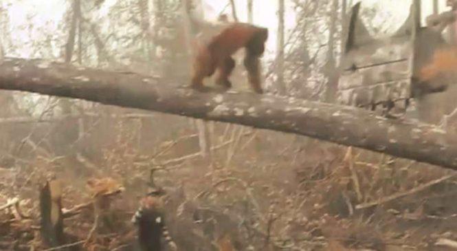Un orang-outan défie un bulldozer pour protéger sa forêt et tombe à terre (Vidéo)